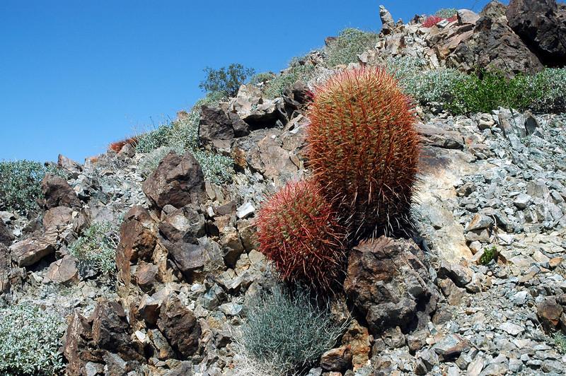 More barrel cactus.