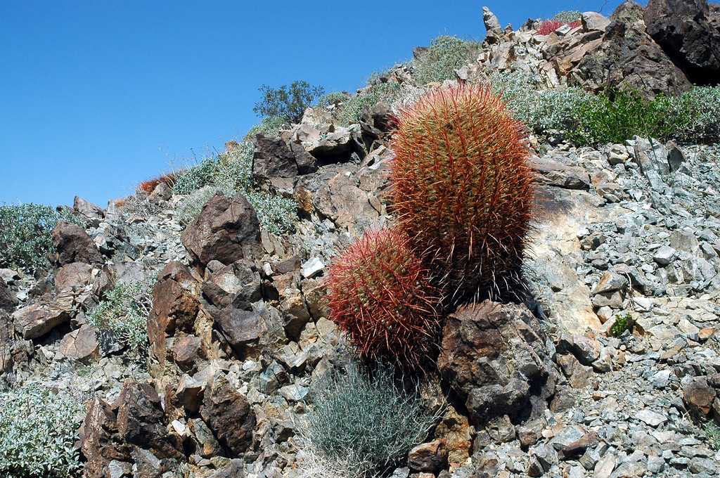 More barrel cactus.