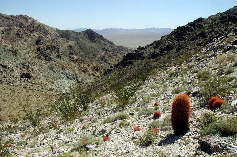 Ocotillos and barrel cactus.