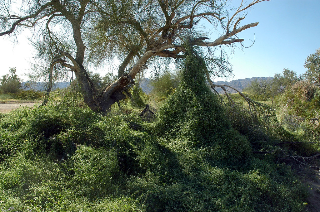 Some of the dead trees in the area had these vines climbing on them.