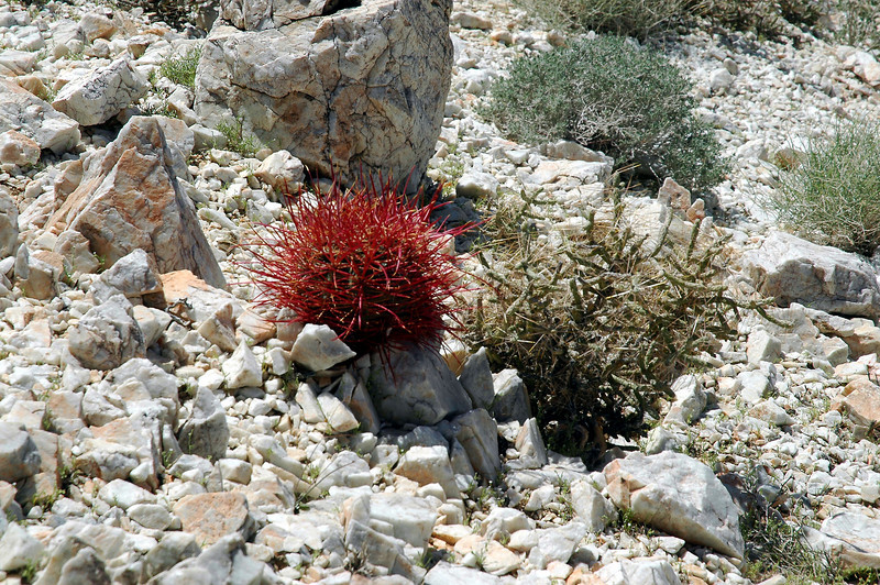 A little barrel cactus and pencil cholla.