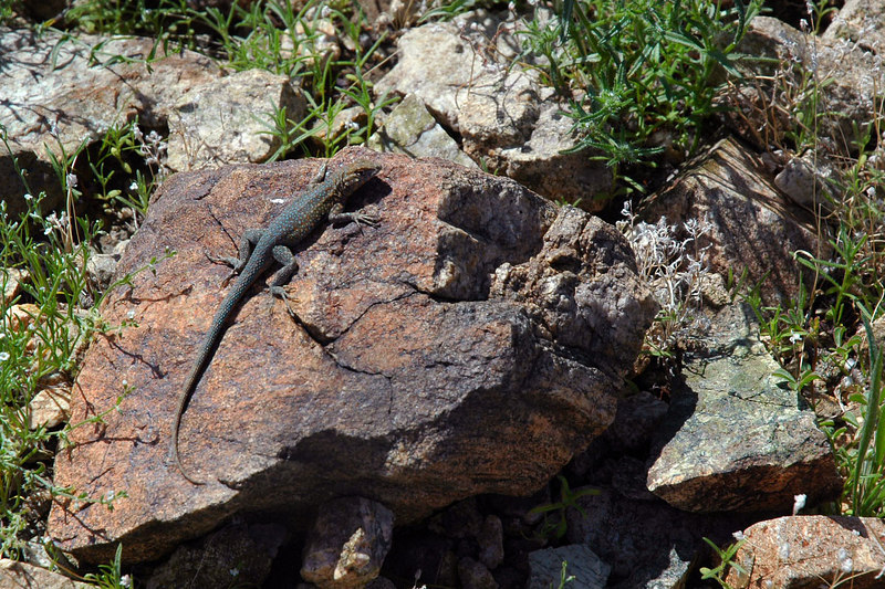 Lizard on a rock.