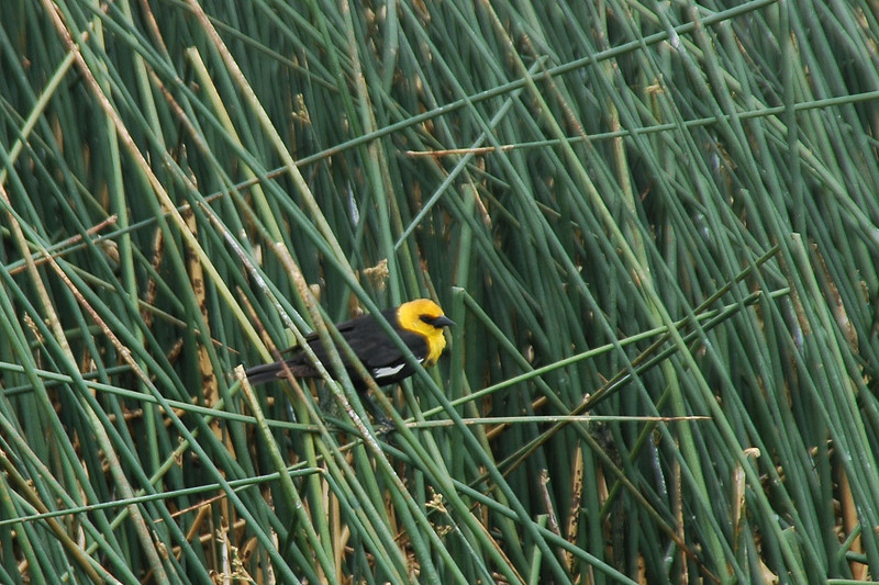 There were a few birds at the pools. This is a Yellow-headed Blackbird.