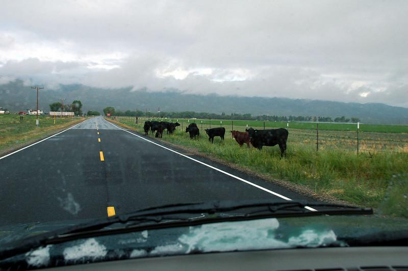 Road cows on Hwy 266.