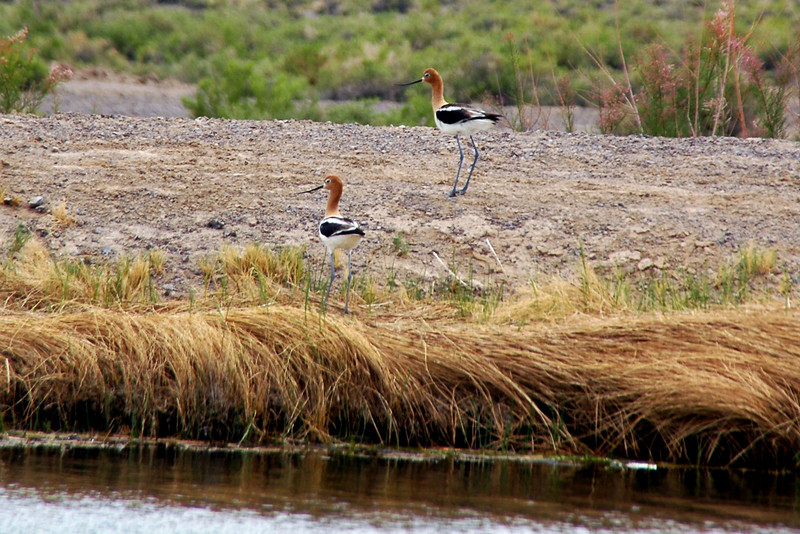 Couple of American Avocets.