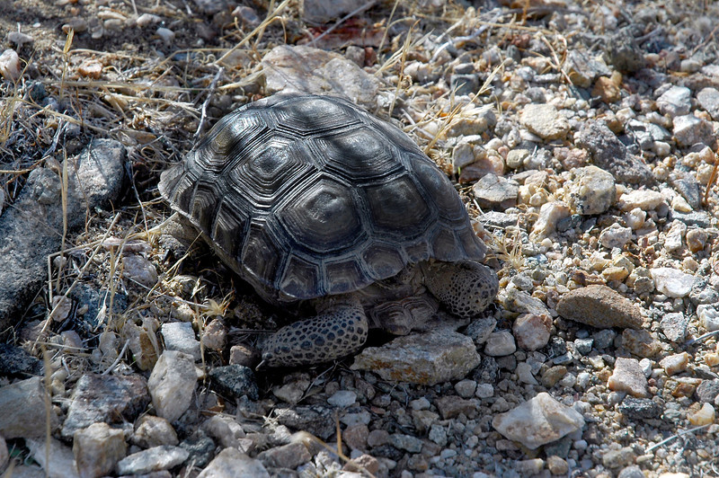 We were surprised to find this little desert tortoise out and about. This time of year they should all be in hibernation