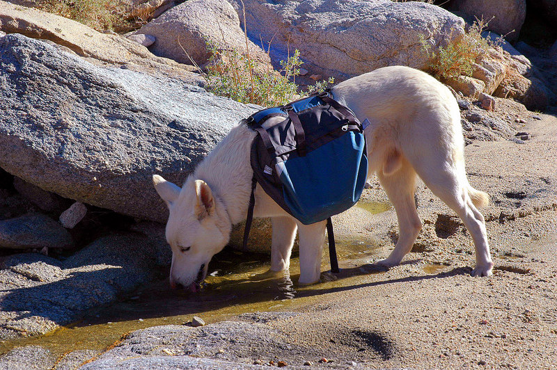 Shasta found some water. There was a few wet spots in this canyon.
