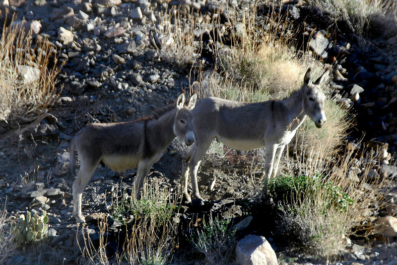 Pleasant Canyon has a lot of wild burros that are descendants of the miner's working burros.