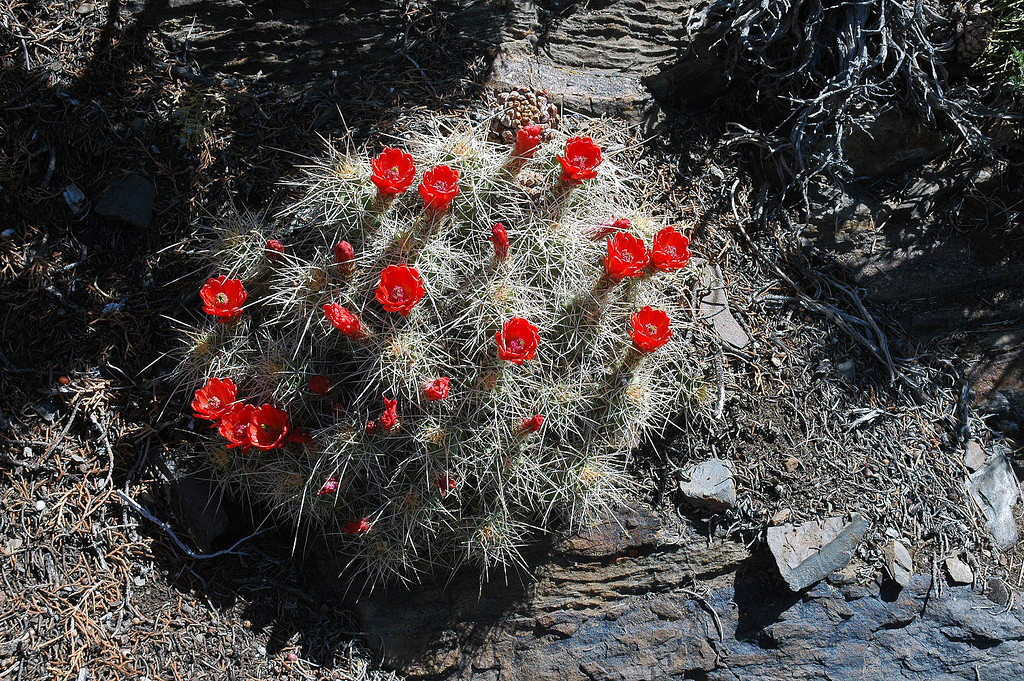Blooming cactus. We saw a few of these on this part of the hike.