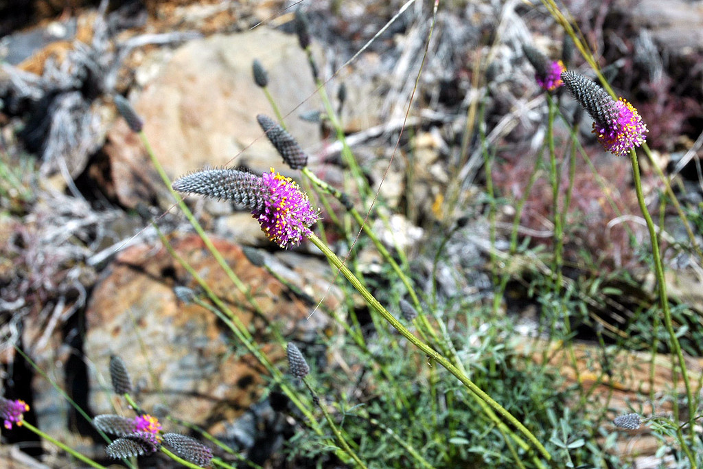 We found these fowers growing on the alluvial fan, never seen these before.