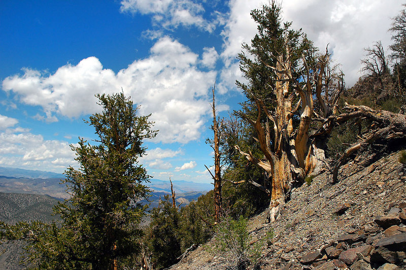 Not sure if these are limber or bristlecone pines at 10,000'. It's really steep here.