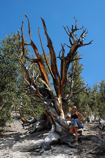 Sooz with a cool looking one. Some of these trees are 3000 to 4000 years old.
