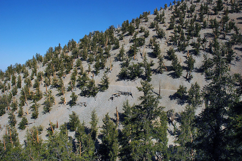 The area has hunderds of these ancient trees. The oldest the Methuselah Tree is 4,700 years old and is believed to be the oldest living thing on earth. Its' location is kept a secret to protect it from crazy people who want to kill it.