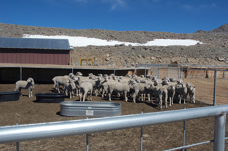 Sheep at the research station.