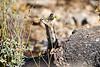 Antelope_Squirrel_Flowers_Desert_Photo_Retreat_IMG_0151