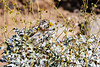 Antelope_Squirrel_Flowers_Desert_Photo_Retreat_IMG_0145
