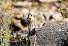 Antelope_Squirrel_Flowers_Desert_Photo_Retreat_IMG_0154