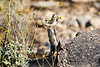 Antelope_Squirrel_Flowers_Desert_Photo_Retreat_IMG_0150
