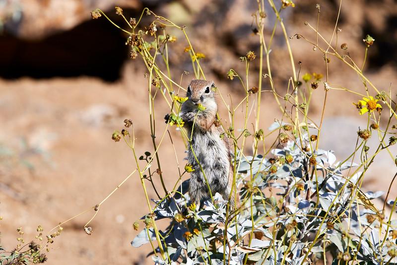 Antelope_Squirrel_Flowers_Desert_Photo_Retreat_IMG_0141