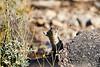 Antelope_Squirrel_Flowers_Desert_Photo_Retreat_IMG_0147