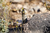Antelope_Squirrel_Flowers_Desert_Photo_Retreat_IMG_0153