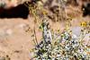 Antelope_Squirrel_Flowers_Desert_Photo_Retreat_IMG_0142