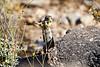 Antelope_Squirrel_Flowers_Desert_Photo_Retreat_IMG_0152