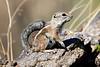 Antelope_Squirrel_Desert_Photo_Retreat_IMG_0078