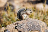 Antelope_Squirrel_Desert_Photo_Retreat_IMG_0093