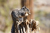 Antelope_Squirrel_Desert_Photo_Retreat_IMG_0098