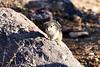 Antelope_Squirrel_Desert_Photo_Retreat_IMG_0089