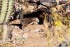 Antelope_Squirrel_Desert_Photo_Retreat_IMG_0086