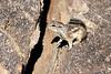 Antelope_Squirrel_Desert_Photo_Retreat_IMG_0090