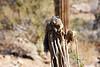 Antelope_Squirrel_Desert_Photo_Retreat_IMG_0095