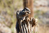 Antelope_Squirrel_Desert_Photo_Retreat_IMG_0097