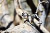 Antelope_Squirrel_Desert_Photo_Retreat_IMG_0080
