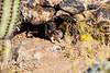 Antelope_Squirrel_Desert_Photo_Retreat_IMG_0087