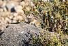Antelope_Squirrel_Desert_Photo_Retreat_IMG_0088