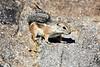 Antelope_Squirrel_Desert_Photo_Retreat_IMG_0079