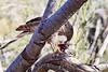 Sharp_Shinned_Hawk_Desert_Photo_Retreat_IMG_0003