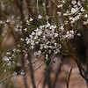 the rotem (Eng: white broom, lat. Retama raetam) in bloom too - unfortunately its the scent cannot be captured in a photograph
