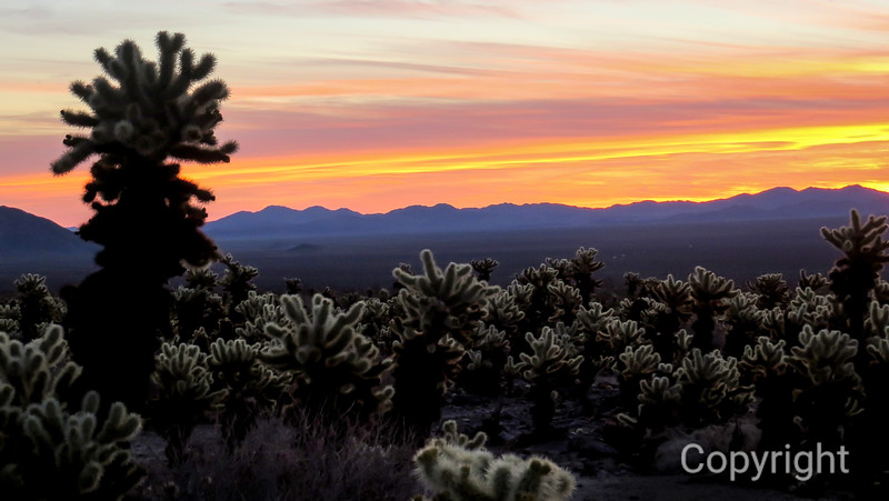 Cholla Sunrise Joshua Tree National Park