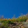 California Poppy Spring