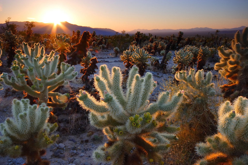 Sunrise, Cholla Cactus Garden Joshua Tree National Park California