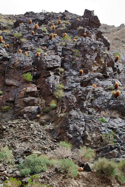 Climbing Cactus