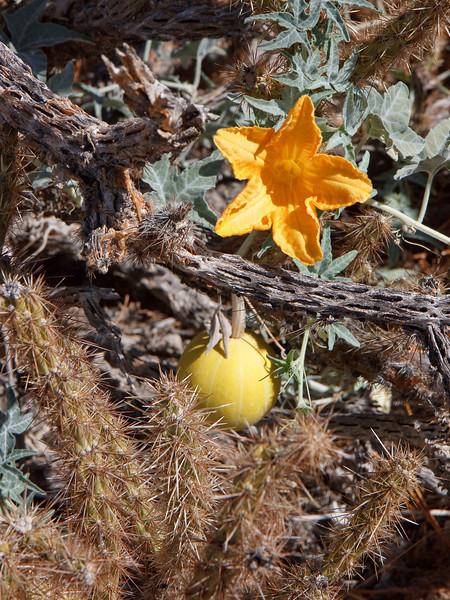 Coyote Mellon and blossom