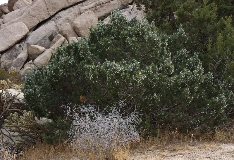 Juniper Berries everywhere