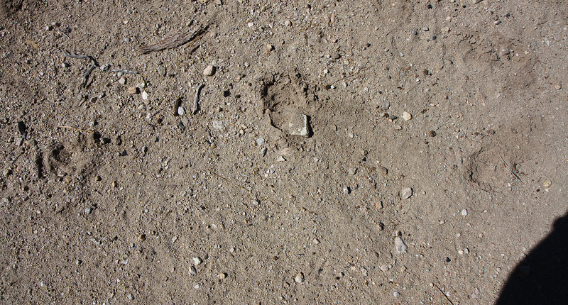 Big Horn Sheep tracks at the spring