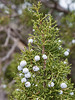 Juniper Christmas Tree