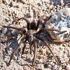 Morning Visitor<br /> <br /> This hairy fellow took a stately stroll through camp in the early morning